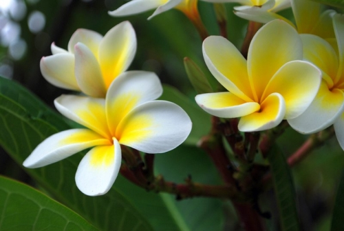 Frangipani flowers at the spa